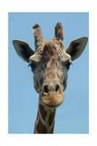 Giraffe Up Close Art by  Lantern Press