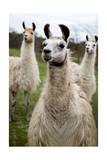 Llamas Poster af Lantern Press