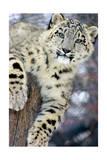 Snow Leopard Sztuka autor Lantern Press