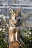 Coyote Prints by  Lantern Press