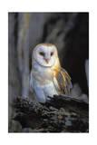 Lantern Press - Barn Owl Umělecké plakáty