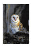 Barn Owl Print by  Lantern Press