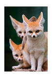 Fennec Foxes Print by  Lantern Press