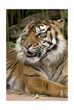 Sumatran Tiger Up Close Posters by  Lantern Press