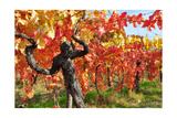 Vineyard Fall Colors Print by  Lantern Press