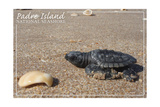 Padre Island National Seashore - Kemp's Ridley Sea Turtle Posters van  Lantern Press