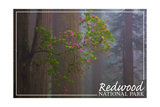 Redwood National Park - Forest Scene Prints by  Lantern Press