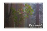 Redwood National Park - Forest Scene Prints