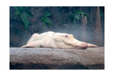 Albino Alligator Plakater af  Lantern Press