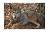 Red Wolf Posters