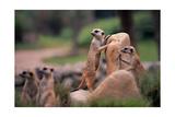 Meerkats Working Reprodukcje autor Lantern Press