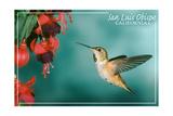 San Luis Obispo, California - Rufous Hummingbirds Affiche par  Lantern Press