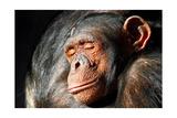 Chimpanzee Cuddle Prints