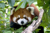 Red Panda Affischer av  Lantern Press