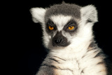 Ring Tailed Lemur Up Close Art by  Lantern Press