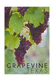 Grapevine, Texas - Wine Grapes on Vine 3 Poster