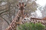 Giraffe Eating Prints by  Lantern Press