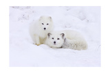 Arctic Fox Posters