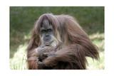 Orangutan Adult Reproduction giclée Premium par  Lantern Press