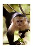 Capuchin Monkey Prints