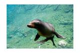 Sea Lion Solo Swimming Art by  Lantern Press