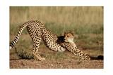 Cheetah Stretching Prints by  Lantern Press