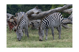 Grants Zebra Herd Posters