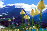Glacier National Park, Montana - Beargrass in Bloom Prints by  Lantern Press