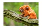 Tamarin Monkey and Baby Prints
