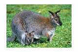 Wallaby and Joey Print by  Lantern Press