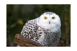 Snowy Owl Prints by  Lantern Press
