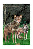 Red Wolves Art by  Lantern Press