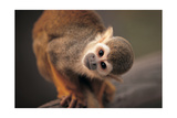 Squirrel Monkey Stampe