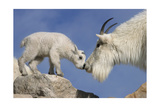 Mountain Goat and Kid Prints by  Lantern Press