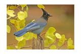 Stellar Blue Jay Affiche par  Lantern Press