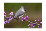 Tufted Titmouse Reproduction giclée Premium par  Lantern Press
