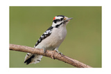 Downy Woodpecker Art by  Lantern Press