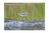 Oregon Coast - Spotted Sandpiper Prints by  Lantern Press
