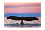 Humpback Fluke and Sunset Posters by  Lantern Press