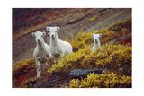 Mountain Goat Kids Prints by  Lantern Press