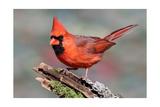 Rouge cardinal Affiches par  Lantern Press