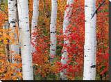 Aspens and Maples Stretched Canvas Print by Elizabeth Carmel