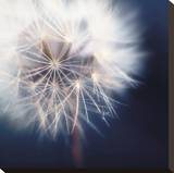 Dandelion Haze Stretched Canvas Print by Andreas Stridsberg