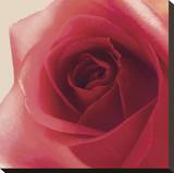 Vintage Red Rose Stretched Canvas Print by Andreas Stridsberg
