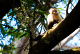 White Faced Monkey Costa Rica Photo Poster Print Art
