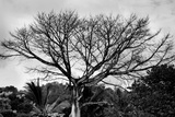 Large Tree in Costa Rica Black White Photo Poster Print Prints