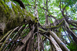 Strangler Fig Tree in Costa Rica Photo Poster Print Art