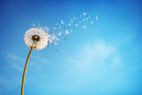Dandelion with Seeds Blowing Away in the Wind across a Clear Blue Sky with Copy Space Photographic Print by  Flynt
