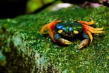 Halloween Crab on Rock in Costa Rica Photo Poster Print Print