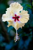 Costa Rica Pale Yellow Hibiscus Flower Photo Poster Print Prints